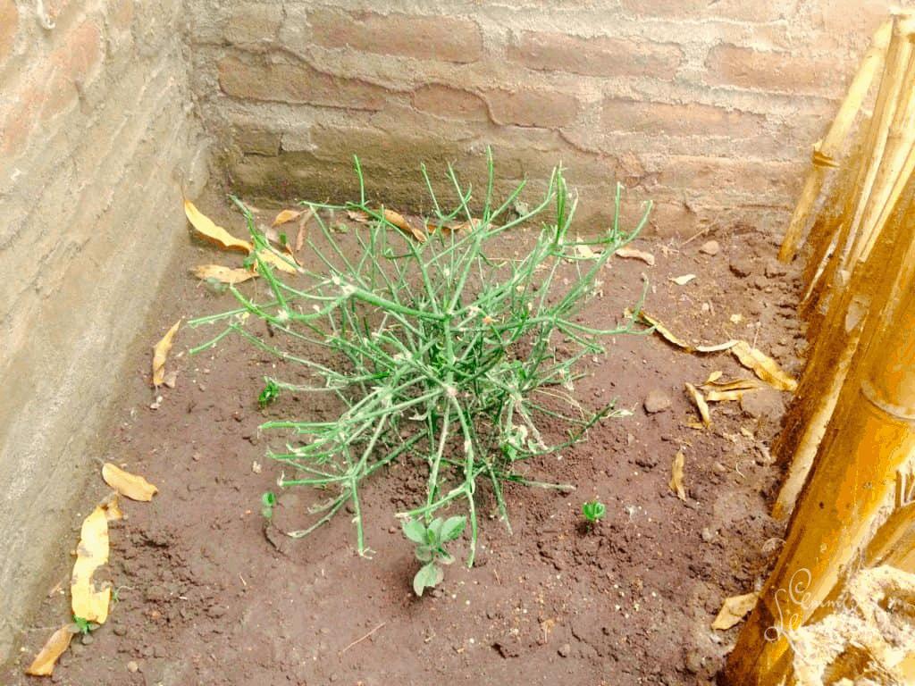 parantava kaktus